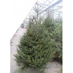 SAPIN Picea abies coupe...