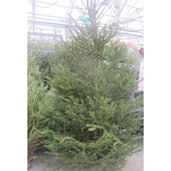 SAPIN Picea abies 100/125...