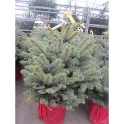 SAPIN Picea abies 150/175...